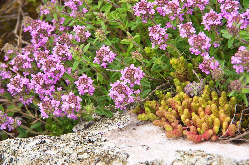 Berühmt Quendel - Wilder Thymian - Kostbare Natur #PY_09