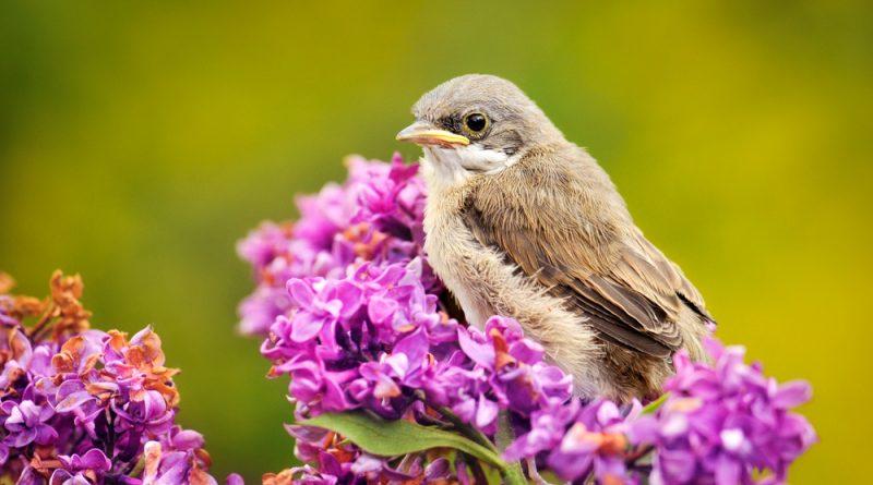 Der Flieder ist mit seinem betörenden Duft eine beliebte Zierpflanze in Gärten und Parks. Er kann aber auch in der Küche und für deine Gesundheit verwendet werden und wirkt fiebersenkend, stärkend und schmerzlindernd.