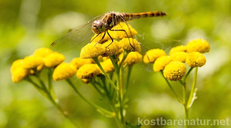 Rainfarn besitzt trotz seiner Gifte eine starke Heilwirkung und kann gegen Mücken, Schädlinge und Läuse effektiv verwendet werden.