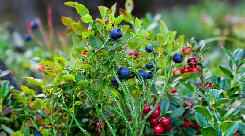 Fast vergessen: Die Heidelbeere eignet sich nicht nur zum Naschen und als Zutat für Kuchen und Süßspeisen, sie besitzt auch überraschend vielfältige Anwendungsmöglichkeiten als Heilpflanze.
