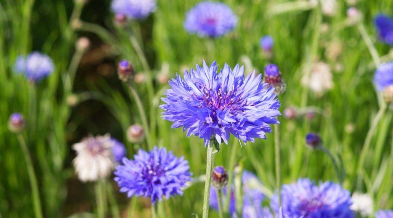 Die auffällige blaue Kornblume ist nicht nur hübsch anzusehen, sie kann auch in der Küche und für die Gesundheit genutzt werden.