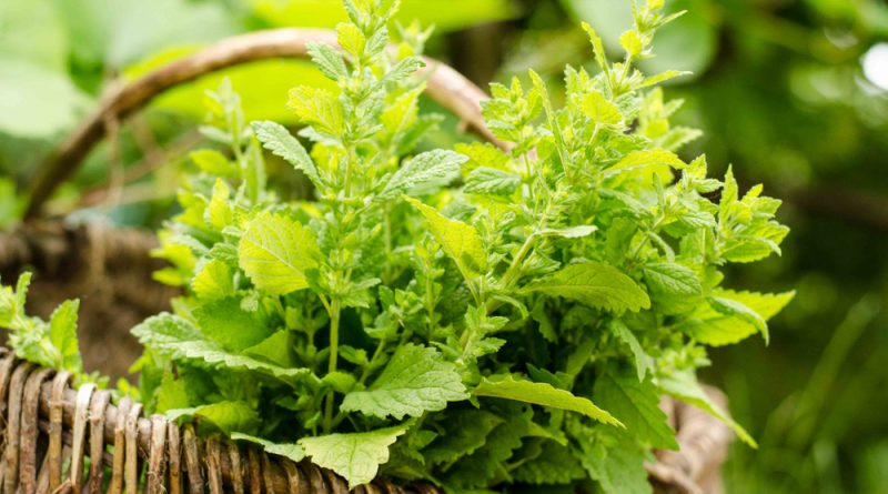 Die Zitronenmelisse ist nicht nur eine beliebte Futterpflanze für Bienen, sondern kann auch vielseitig in der Küche und für die Gesundheit genutzt werden.