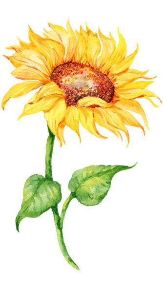 Die Sonnenblume ist wegen ihres hohen Wuchses und der großen Blüten eine beliebte Zierpflanze in Gärten. Aber auch für Ernährung und Gesundheit kann sie vielseitig verwendet werden.