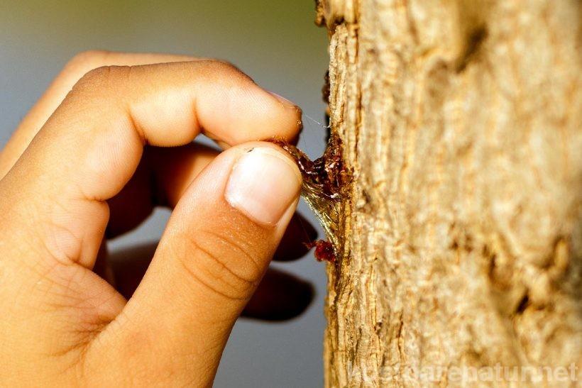Das vielseitige Heilmittel Baumharz kann vor deiner Haustür kostenlos gesammelt werden. Wie das geht und was es zu beachten gibt, erfährst du hier.