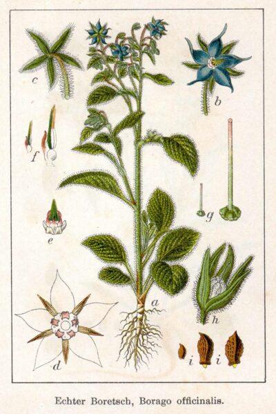 Borretsch ist nicht nur eine beliebte Zierpflanze in Gärten, sondern kann als Heilpflanze auch zahlreiche Beschwerden lindern.