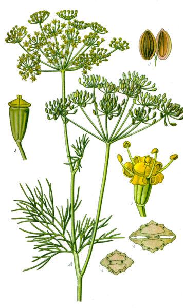 Dillkraut und Dillsamen enthalten wertvolle Vitalstoffe und verdienen einen festen Platz im Garten, in der Küche und in der Hausapotheke.