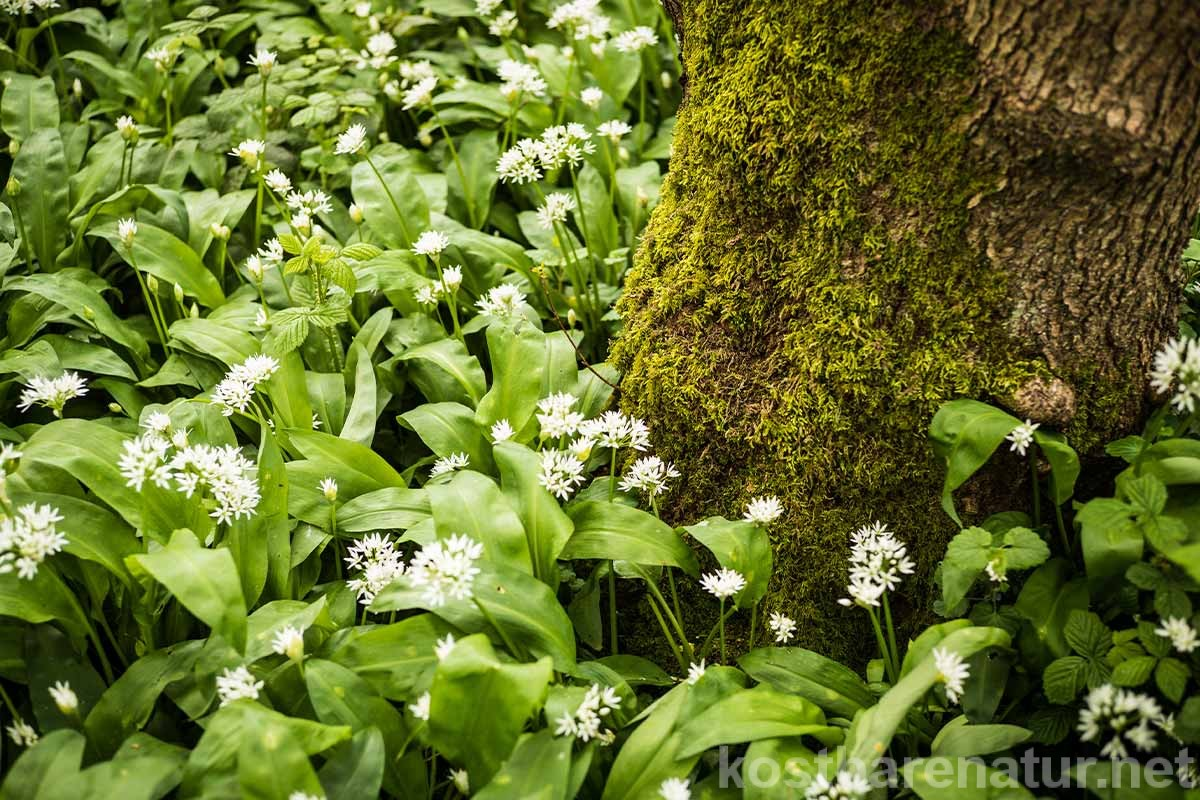 Wer keine Sammelstelle in seiner Nähe findet, kann Bärlauch auch ganz einfach im Garten säen, pflanzen oder stecken und immer wieder ernten.