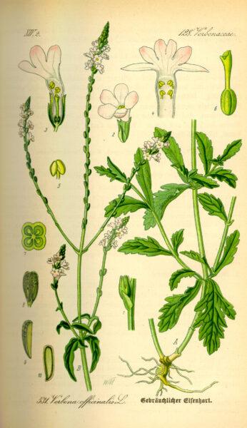 Das Echte Eisenkraut ist seit dem Altertum eine beliebte Heilpflanze, die unter anderem gegen Fieber, Halsschmerzen und Stichverletzungen eingesetzt wurde.