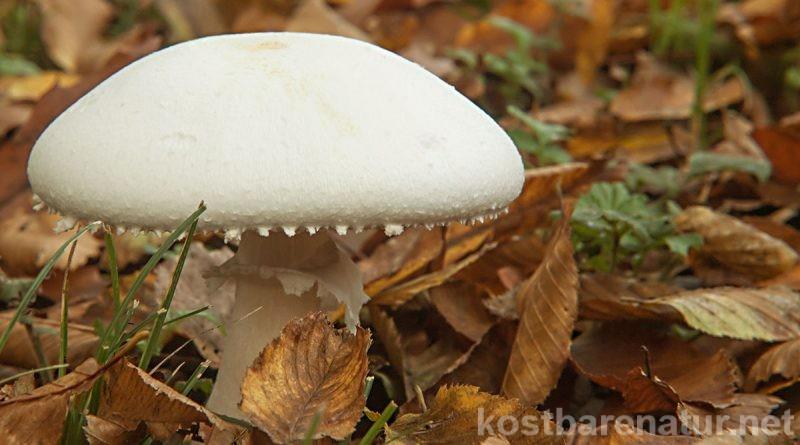 Champignons sind weit verbreitet, und Wiesenchampignons sind leicht zu sammeln. Die Pilze enthalten viele gesunde Inhaltsstoffe und schmecken roh oder gebraten.