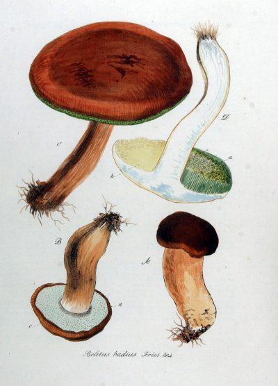 Maronen-Röhrlinge sind besonders köstlich und beim Sammeln einfach von anderen Pilzen zu unterscheiden. Sie können auch auf Vorrat eingefroren oder getrocknet werden.