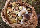 Pilze sammeln für Anfänger: Die besten Tipps für die Pilzsaison