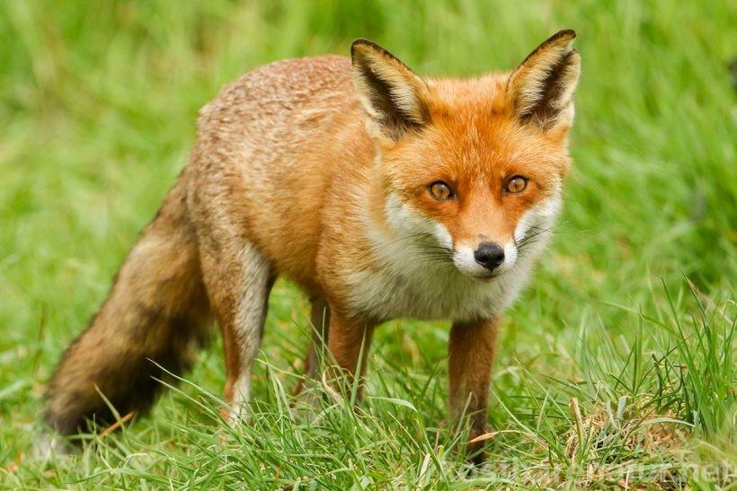 Wildpilze richtig zu garen, ist sinnvoll, denn so werden die Eier des Fuchsbandwurms sowie Hämolysine unschädlich gemacht - für den Pilzgenuss ohne Nebenwirkungen.