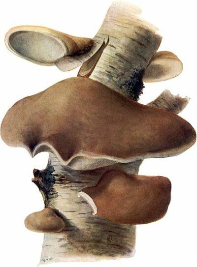 Seit der Steinzeit wird der Birkenporling als Vitalpilz verwendet. Neuerdings erregen seine antioxidativen Eigenschaften das Interesse der Wissenschaft.
